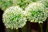 verdant stock photography | England, Chelsea Flower Show, Allium Stipitatum �Album