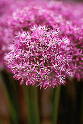 image 3-754-71 England, Chelsea Flower Show, Allium Purple Sensation