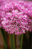 show garden stock photography | England, Chelsea Flower Show, Allium �Purple Sensation