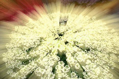 image 3-754-93 England, Chelsea Flower Show, Sugar Girl Nemesia Maritana