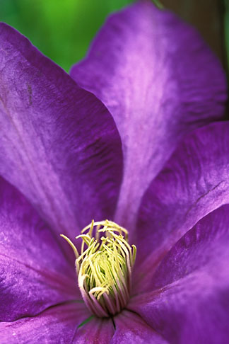 3-755-26 stock photo of England, Chelsea Flower Show, Merrill Lynch Garden, Purple clematis