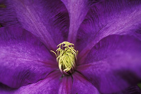 3-755-31  stock photo of England, Chelsea Flower Show, Purple clematis