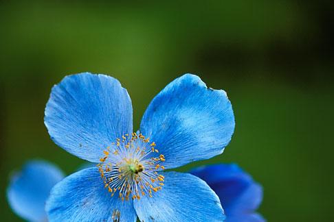 image 3-755-45 England, Chelsea Flower Show, Tibetan poppy