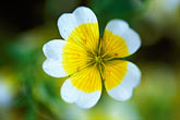 yellow wildflower stock photography | England, Chelsea Flower Show, Poached egg plant, limnanthus douglasii, image id 3-755-75