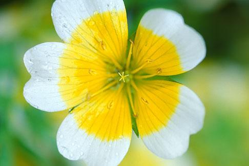 image 3-755-77 England, Chelsea Flower Show, Bonterra Organic Wine Garden, poached egg plant, limnanthus douglasii