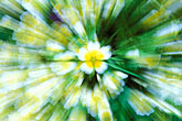 close up stock photography | England, Chelsea Flower Show, Bonterra Organic Wine Garden, poached egg plant, limnanthus douglasii, image id 3-755-79
