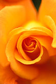 single color stock photography | Flowers, Orange Rose, image id 3-756-71