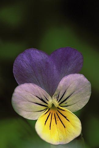 image 3-758-15 England, London, Wild Pansy, Viola tricolor