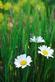 close up stock photography | England, Chelsea Flower Show, Bonterra Organic Wine Garden, oxeye daisy, leucanthemum vulgaris, image id 3-758-22
