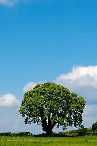 image 4-900-2174 England, Oak tree and clouds