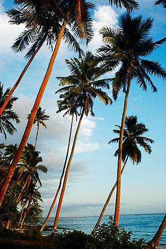image 5-600-2764 Fiji, Beach palms