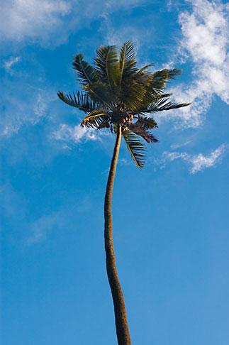 image 5-610-2774 Fiji, Viti Levu, Palm