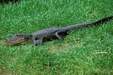 hazard stock photography | Florida, Winter Haven, Cypress Gardens, Alligator, image id 2-482-75