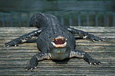 front view stock photography | Florida, Orlando, Gatorland, Alligator, image id 2-501-18