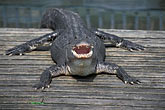front view stock photography | Florida, Orlando, Gatorland, Alligator, image id 2-501-19