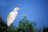 alert stock photography | Birds, Cattle Egret (Bubulcus ibis), image id 2-501-26