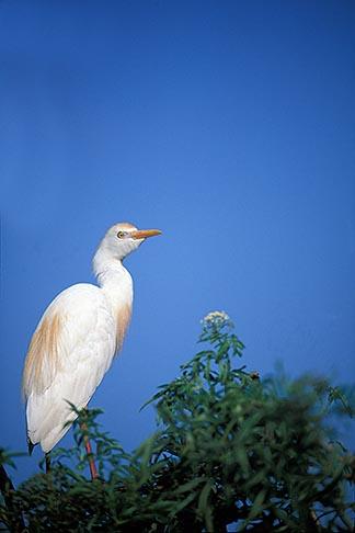 image 2-501-27 Florida, Orlando, Cattle Egret Bubulcus ibis