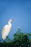 the birds stock photography | Florida, Orlando, Cattle Egret (Bubulcus ibis), image id 2-501-27