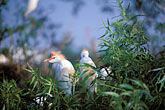 fowl stock photography | Florida, Orlando, Cattle Egret chicks (Bubulcus ibis), image id 2-501-29