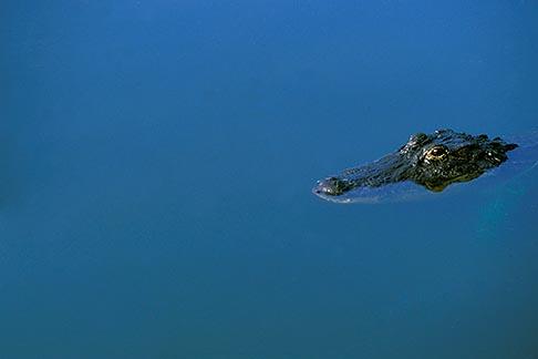 image 2-501-59 Florida, Orlando, Alligator