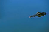 underwater stock photography | Florida, Orlando, Alligator, image id 2-501-59