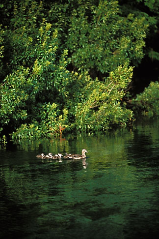image 2-530-91 Florida, Tallahassee area, Wakulla Springs State Park, Wood duck with ducklings