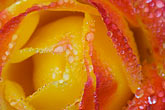 rose stock photography | Flowers, Orange rose with dewdrops, image id 6-470-8299