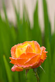 rose stock photography | Flowers, Orange rose with dewdrops, image id 6-470-8309