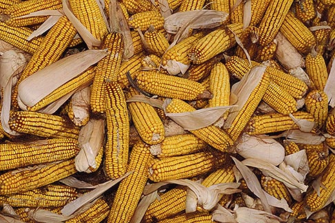 image 4-408-7 Still life, Yellow corn cobs with husks