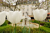square stock photography | France, Paris, Place de la Contrescarpe, Tulips, image id 6-450-114