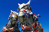 clear sky stock photography | Germany, Munich, Oktoberfest, Draught horses, image id 3-954-76