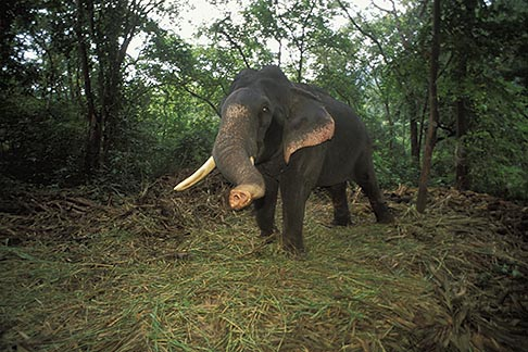 image 0-612-51 India, Goa, Elephant, Bhagwan Mahaveer Sanctuary