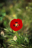 greek island stock photography | Greece, Hydra, Red poppy (Papaver rhoeas), image id 3-700-12