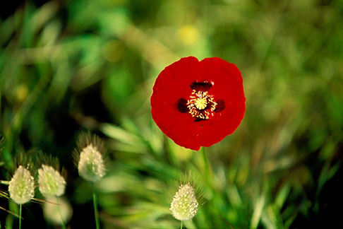 image 3-700-4 Greece, Hydra, Red poppy Papaver rhoeas