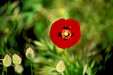 red flower stock photography | Greece, Hydra, Red poppy (Papaver rhoeas), image id 3-700-4