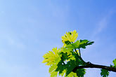 grape leaves stock photography | Greece, Hydra, Grapevines, image id 3-701-76