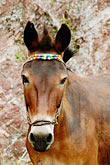 hydra stock photography | Greece, Hydra, Donkey, frontal view of head, with volroed fabric harness, image id 7-640-5607