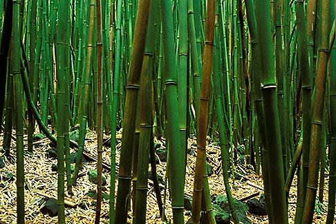 image 4-42-3 Hawaii, Maui, Bamboo forest, Haleakala Nat Park, Kipahulu region