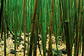 united states stock photography | Hawaii, Maui, Bamboo forest, Haleakala Nat. Park, Kipahulu region, image id 4-42-3