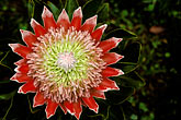 star shaped stock photography | Flowers, King Protea , Protea Cynaroides, image id 4-55-6