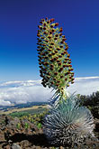 single minded stock photography | Hawaii, Maui, Silversword (ahinahina) in Haleakala National Park, image id 5-332-18
