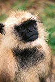 face stock photography | Animals, Langur, image id 7-300-2