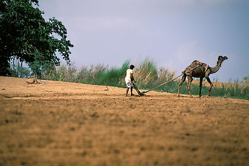 image 7-350-5 India, Rajasthan, Man plowing field with camel