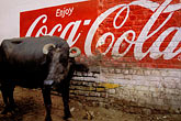 water buffalo and coca cola ad stock photography | India, Agra, Water buffalo and Coca Cola ad, image id 7-380-14