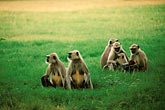 grass stock photography | Animals, Langurs , image id 7-389-40