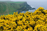 yellow wildflower stock photography | Ireland, County Antrim, North Antrim Cliff Path at Giant