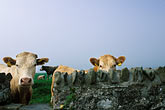 stone wall stock photography | Ireland, County Louth, Curious cattle, image id 4-753-47