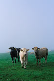 trio stock photography | Ireland, County Louth, Curious cattle, image id 4-753-50