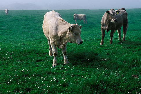 image 4-753-51 Ireland, County Louth, Cattle in field