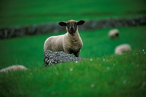 image 4-753-55 Ireland, Fermanagh, Sheep